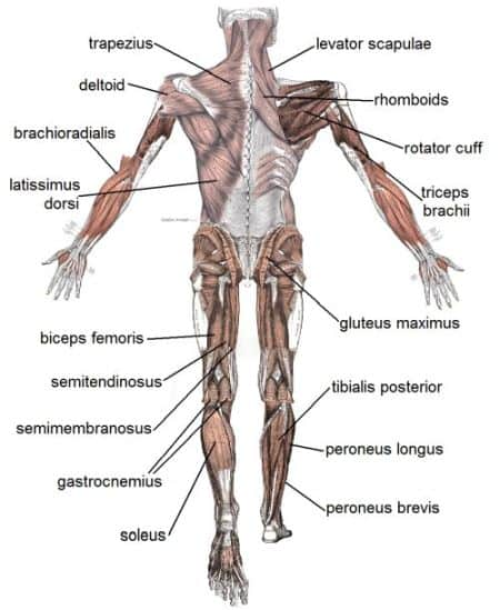 upper and lower muscles of the body used in strength training or rowing motion (ie catch position uses shoulder blades)